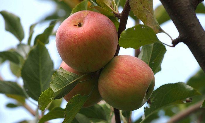 South Carolina Apple Festival