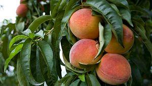 Ridge Peach Festival