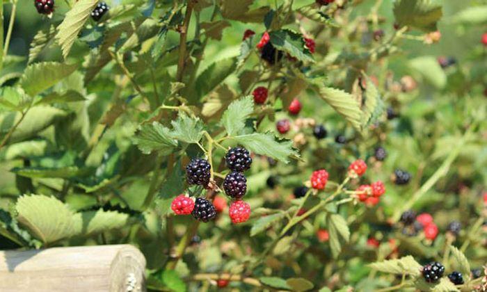 Perdue's Mountain Fruit Farm