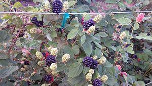Callaham Orchards