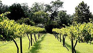 Hyman Vineyards